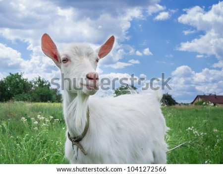 Close-up portrait of white adult goat grassing on green summer meadow field at village countryside #1041272566