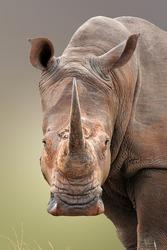 Close-up portrait of White Rhinoceros; Ceratotherium Simum; South Africa