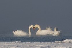 Close up portrait of wintering pair of Mute Swans in extremely cold frosty and steamy seabay, having a heart-shaped formation of their necks