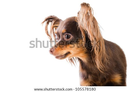 Close-up portrait of young pedigree dog of Moscow long-haired toy terrier on isolated white background