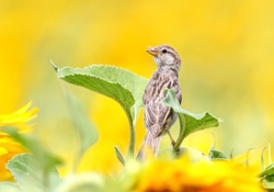 Close up portrait ofyoung sparrow on sunflower.
