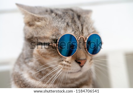 Close up portrait photo of short hair cat wearing sunglasses with white background.