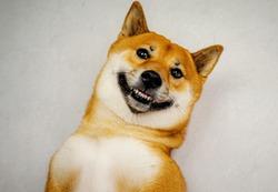 Close up portrait photo of smiling shiba inu
