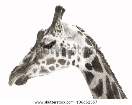 close-up portrait photo of the giraffe