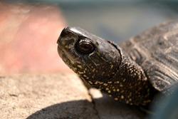close up portrait shot of a curious turtle