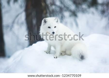 Close up portrait view of Arctic Fox in Finland, Lapland, near Rovaniemi #1234770109