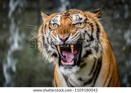 Close Up Portraits of roaring Bengal Tiger. #1109180042