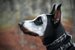 Close-up profile of a dog, Doberman. Halloween, spook pet in ghost horror mask.