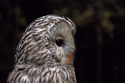 close-up profile of a strix uralensis or Ural owl.Flattened face with small orange beak