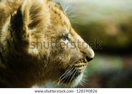 close up profile of a young lion cub