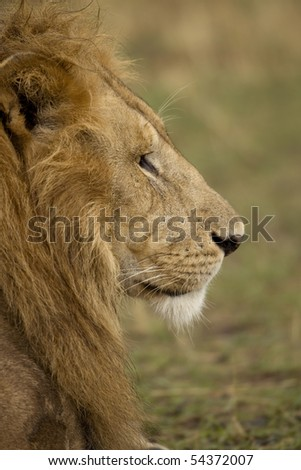 Close-up profile of adult lion, Serengeti National Park, Serengeti, Tanzania