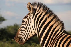 Close up profile of one Chapman's Zebra (Equus quagga ssp. Chapmani), South Africa, looking to the left, with sky background