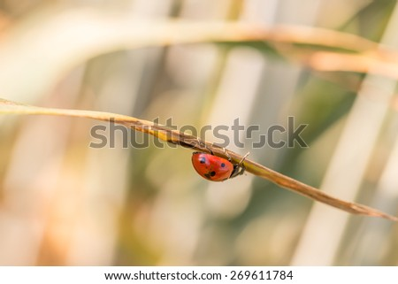 Close Up Profile of Red Lady Bug Crawling on Under Side of Dried Plant Leaf with Out of Focus Background.