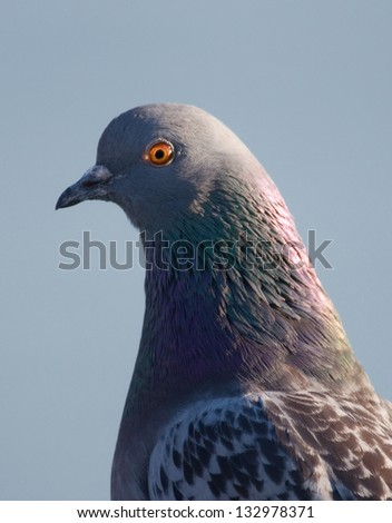 Close up profile photograph of a familiar rock pigeon, seen by many people in our large city parks and beaches.