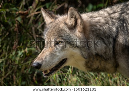 Close up profile portrait of a Gray Wolf (also known as a Grey Wolf or Timber Wolf), mouth open, showing its teeth #1501621181