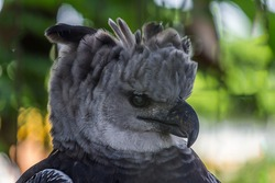 Close-up profile portrait of a harpy eagle. The American harpy eagle (Harpia harpyja) lives in the tropical lowland rainforests of America. It's a Near Threatened species.