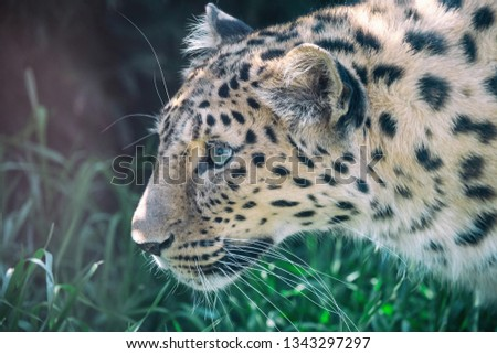 Close-up profile portrait of hunting Amur leopard. Beautiful spotted big cat (Panthera pardus orientalis) with blurred green grass in background. Critically endangered species. #1343297297