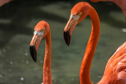 Close-up profile portrait of two pink flamingos. The American flamingo (Phoenicopterus ruber) lives in the marine coastal of Caribbean and Galapagos. It's a large wading bird with pink plumage.