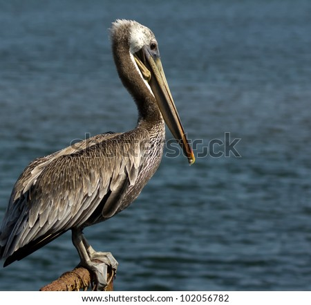 Close up profile view of Brown Pelican at Bolsa Chica Wetlands, Ecological Reserve in Huntington Beach, California