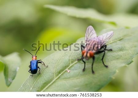Close up Pumpkin beetle  Yellow Squash Beetle or Cucurbit Beetle on green leaf #761538253