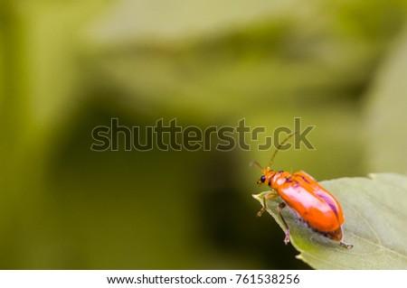 Close up Pumpkin beetle  Yellow Squash Beetle or Cucurbit Beetle on green leaf #761538256