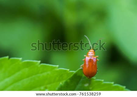 Close up Pumpkin beetle  Yellow Squash Beetle or Cucurbit Beetle on green leaf #761538259