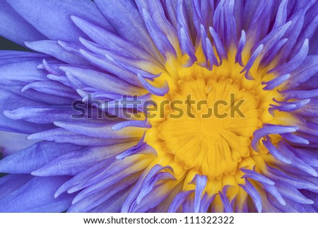 Close up purple lotus flower blossom