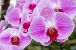 Close up.Purple Orchids Vanda in the orchids Farm.