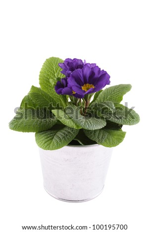 Close-up purple Primrose potted plant. Isolated on white background