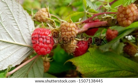 Close up raspberries growing on tree in homegrown garden.