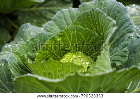 Close up raw fresh organic young white headed cabbage, smooth leaf, rain water, dew drop. Annual vegetable crop. Head Brassica Oleracea. Leafy green plant, natural food and vegetable background