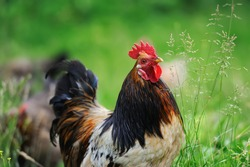 Close-up red beautiful rooster in farm