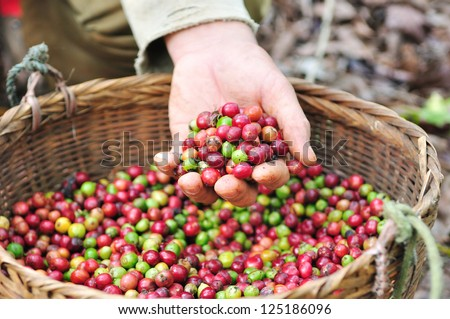 Close up red berries coffee beans on agriculturist hand - stock photo