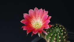 close up red cactus flower blooming
