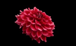 Close up Red Dahlia  on black background/selective focused some parts .