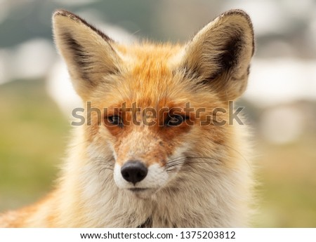 Close up red fox in the nature with blur background #1375203812