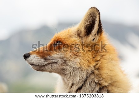 Close up red fox in the nature with blur background #1375203818