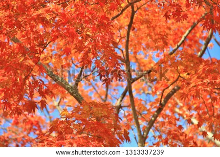 Close up red maple leaves in japan,Red maple leaved during autumn season, natural landscape background