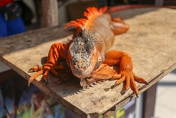 Close up red orange Iguana crawling on wood, looking side way. Close-up portrait of curious Iguana reptile. Colorful exotic iguana resting on ground stone ground, with skin in red, orange.