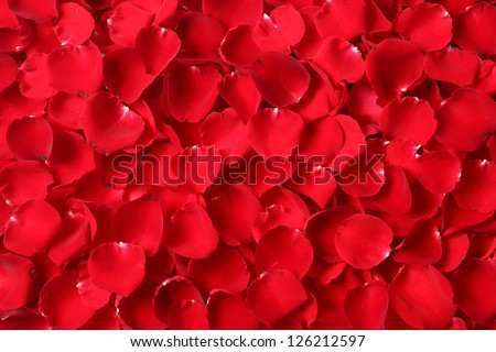 Close up red rose petal background
