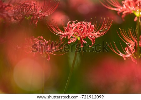 Close - up Red spider lily in autumn #721912099