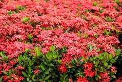 Close up red spike flower or colorful Ixora coccinea  blooming in garden background