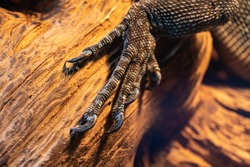 Close-up reptile paw, lizard limb with claws on a wooden background, monitor lizard or gecko paw with claws on a branch, iguana paw