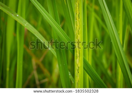 Close up rice plant is blooming.Flower fresh green rice fields are blooming.Rice during the period of rice milk production.