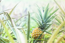Close-up ripe pineapple fruit in plantation. Tropical pineapple fruit with beautiful light.