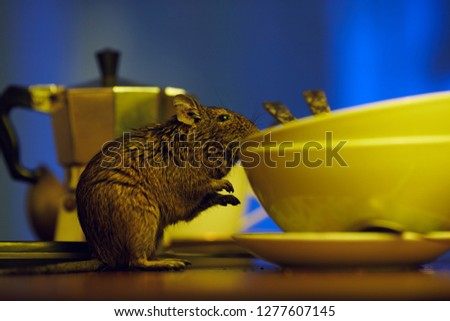 Close-up, rodent degu walks on the table in the kitchen among unwashed dishes. Fight with rodents in the apartment.