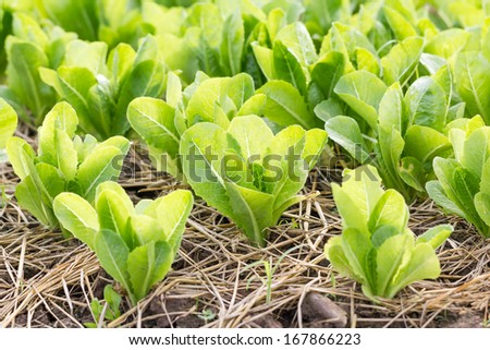Close-up rows of young lettuce  plants in the countryside
