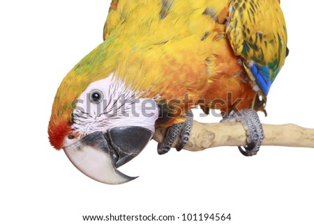 Close-up Ruby Macaw isolated on a white background - stock photo