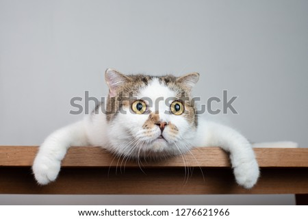 Photo of  Close up Scottish fold cat head with shocking face and wide open eyes. Frighten or surprised cat when look at something.