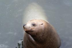 Close up sea lion in the water at Otaru Aquarium.